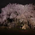 六義園之枝垂桜