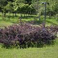銅葉目木ベルベリス・ツンベルギー'アトロプルプレア・ナナ'1