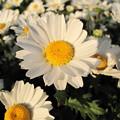 明石海峡に咲く花