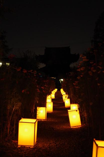 般若寺 コスモス 花あかり2013(灯り)