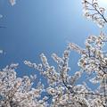 写真: 桜天空