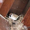 Photos: 巣の修理からだよ