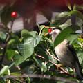 Photos: 椋鳥 サクランボのつまみ食い