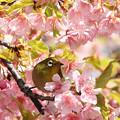 Photos: 桜に囲まれてご満悦
