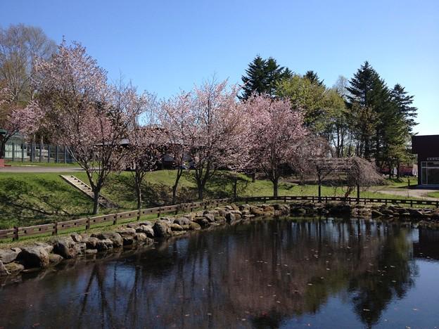 網走監獄の桜