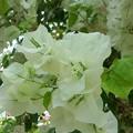 Photos: 白い花をあなたに
