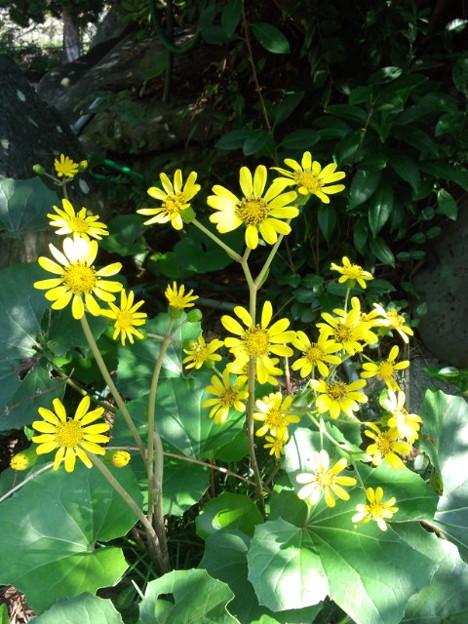 Photos: ツワの花咲いて