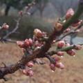 Photos: 遠い春