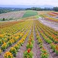 Photos: HDR ケイトウという花のお花畑・・四季彩の丘