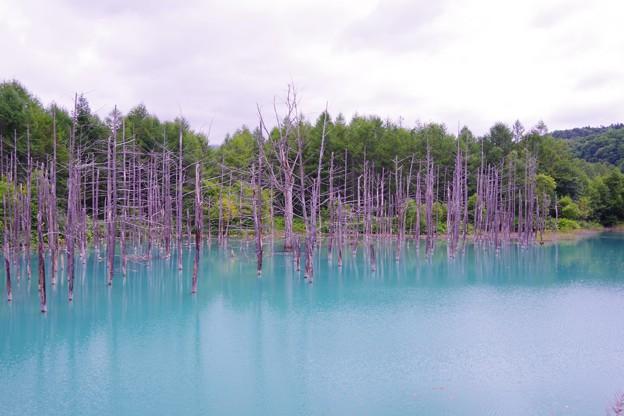 美瑛 白金温泉にある青い池・・? 静寂な池