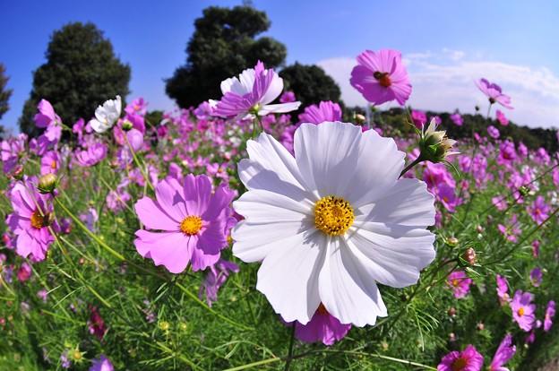 昭和記念公園の花の丘のコスモス元気いっぱい・・20121020