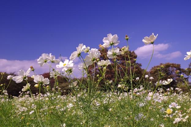 昭和記念公園のイエローサンセットコスモスもそよ風になびいて・・20121020