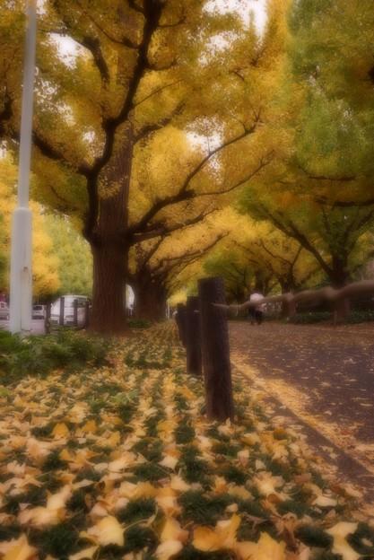 東京外苑いちょう並木。。ソフトレタッチで