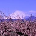 曽我梅林から梅と富士山・・20130224