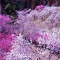 HDR 紅白の梅たちが綺麗な吉野梅郷・・20130316