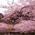 今年は横須賀米軍基地内でも見事な桜が・・20130324