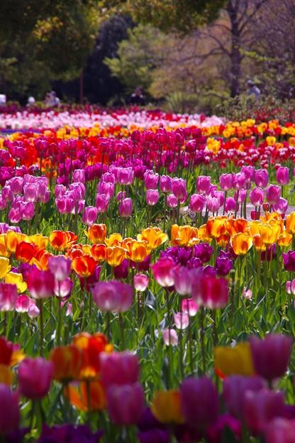 奥行のあるチューリップ畑。。。昭和記念公園 20130413