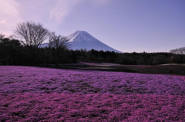 まだ朝一の富士芝桜と富士山・・・20130429