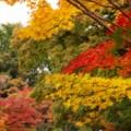 黄色い紅葉が綺麗な・・昭和記念公園20131109