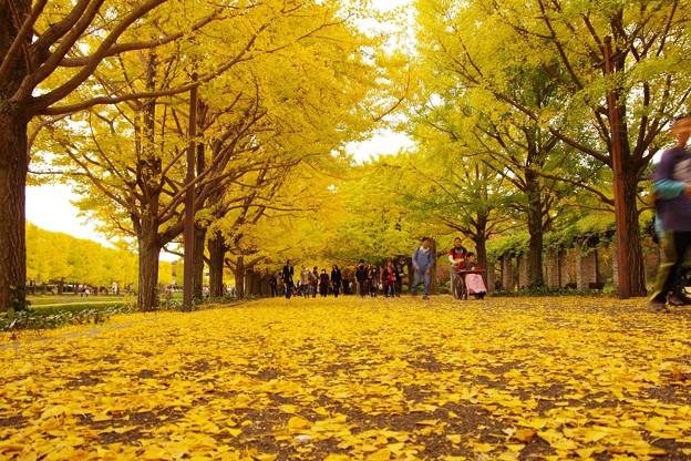 カナール噴水のイチョウの絨毯・・昭和記念公園20131109