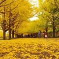 写真: カナール噴水のイチョウの絨毯・・昭和記念公園20131109