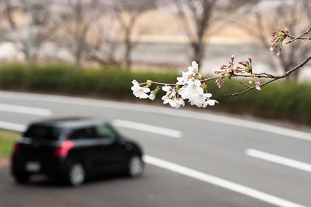 下北山スポーツ公園の桜・1