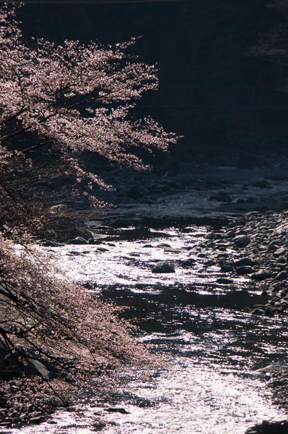 R169上北山村の桜・2