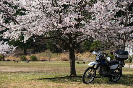 下北山スポーツ公園の桜・5