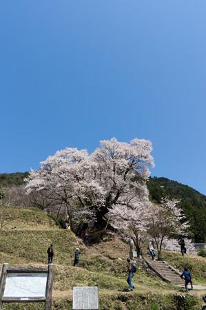 佛隆寺の桜・2013-1