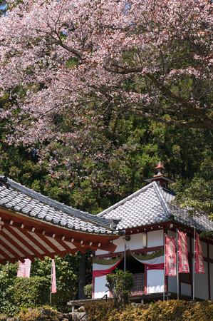 佛隆寺の桜・2013-3