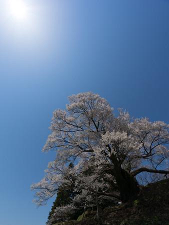 佛隆寺の桜・2013-6