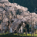 畑のしだれ桜・1