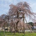 畑のしだれ桜・2