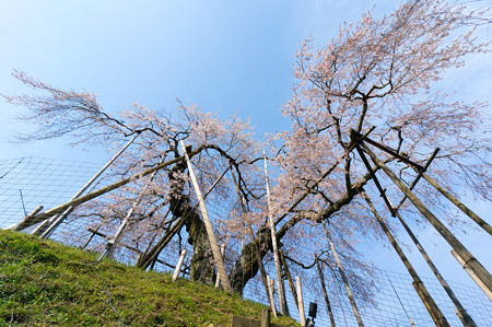 畑のしだれ桜・4