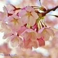 桜-H23.4.24より