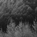 モノクロの樹林