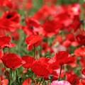 写真: ♪真っ赤なお花の~