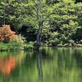 写真: 水辺に咲くミツバツツジとコナラ??