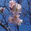 Photos: 秋の桜(十月桜)
