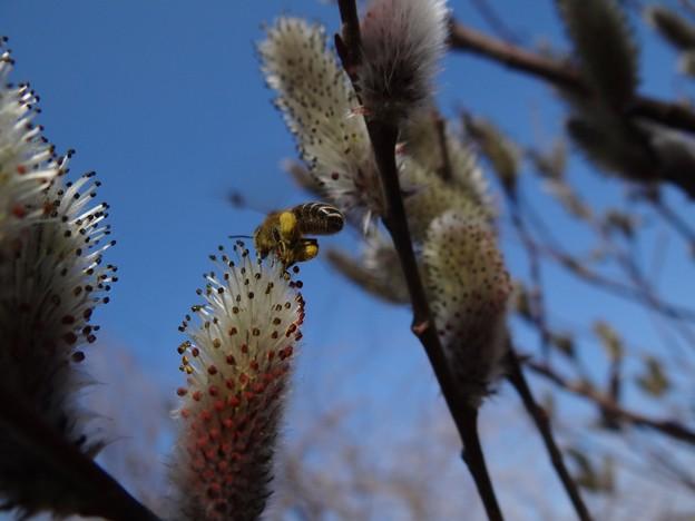 ピンクネコヤナギに日本ミツバチ♪