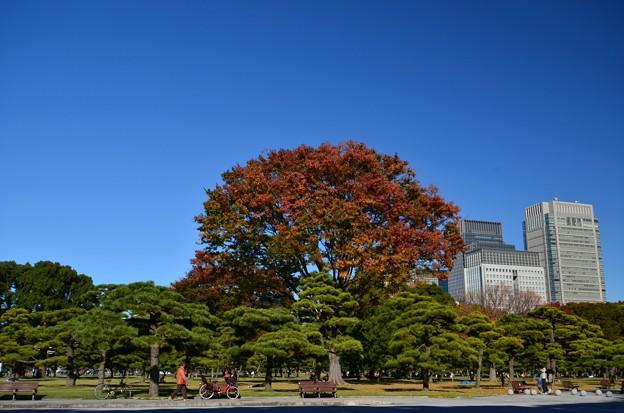 皇居外苑の紅葉