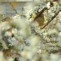 Photos: カマキリの巣発見