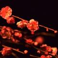 Midnight ume blossom