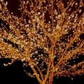 桜・・・光る ~type Kawazu~