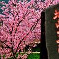 城山下桜~type Kawazu~