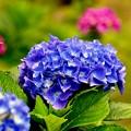 儚い紫陽花