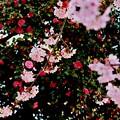 Photos: 桜 ~feat.山茶花~