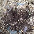 Photos: 筍掘り