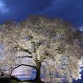 わに塚の桜、ライトアップ