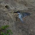 巣穴で待ってる雛へ、鮎を咥えて、給餌中・・